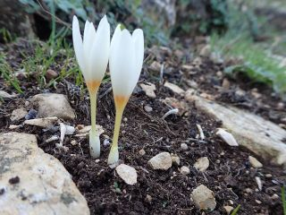 Yellow crocus.jpg